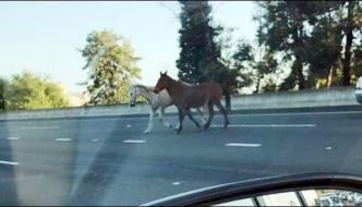 Horses Ran On California Highway