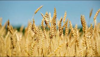 Multan Wind And Rain Damage The Wheat Crop