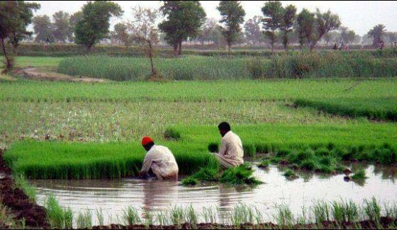 Discovery Of Rice Technology Of Without Water