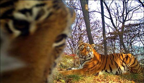Wild Tiger Family Pose For Amazing Selfies In Front Of Forest Camera Trap
