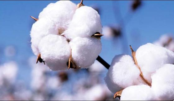 Cotton Record Production Likely This Year