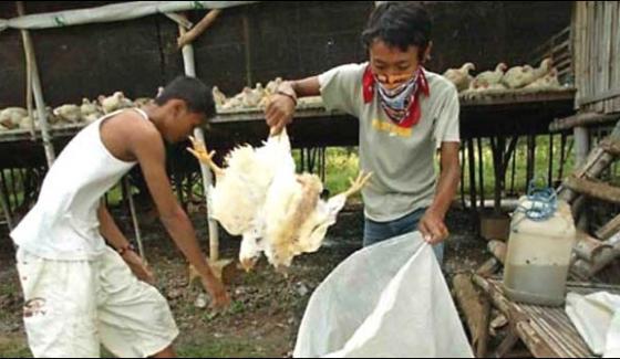 Philippines To Waste 4 Million Birds Of Bird Flu