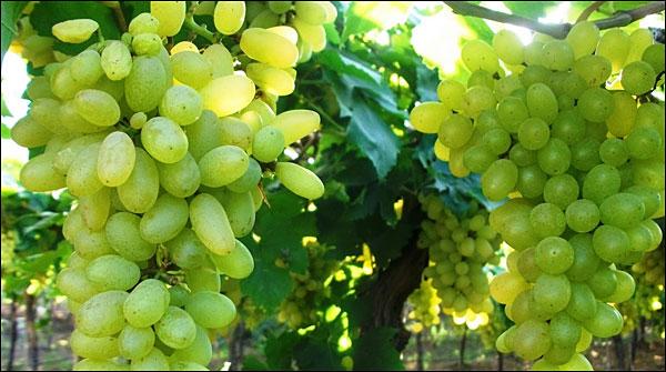 Prepare Grapes In More Than 5000 Gardens Of Pishin
