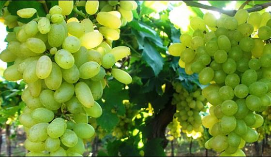 Prepare Grapes In More Than 5000 Gardens Of Pishin