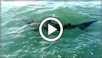 Stunned Fishermen Captured 12ft Shark On Camera