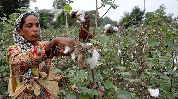 Announce New Terms For Imported Cotton From India