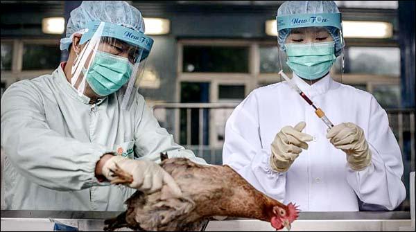 Bird Flu 91 Thousand Poultry In Japan
