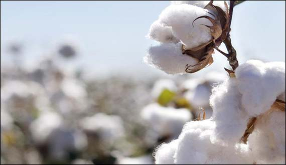 Raw Cotton Prices Down By 7000 Per Ton