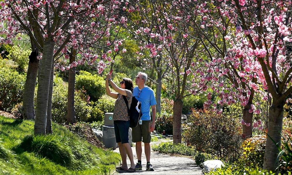 سین ڈیاگو میں چیری پھولوں کی بہار