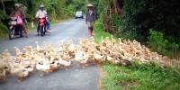 ویتنام میں ہزاروں بطخیں سڑک پر نکل آئیں