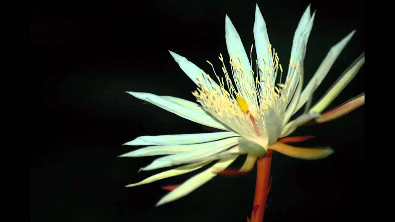 دنیا کے 10مہنگے ترین پھول