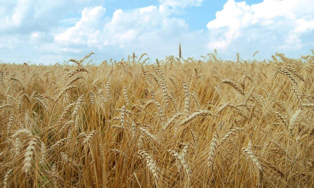 حکومت کسانوں سے رواں برس پوری گندم خریدے گی؟