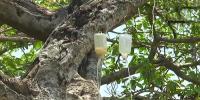 700 سالہ بوڑھے درخت  کو ڈرپ لگ گئی