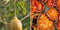 شوگر کا قدرتی علاج 'بیل گری'
