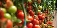 ٹماٹر ناقدری کا شکار،کوئی مفت میں توڑنے کو تیار نہیں