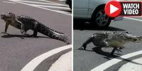 امریکی ریاست فلوریڈاکی سڑک پر مگرمچھ کی مٹر گشتی
