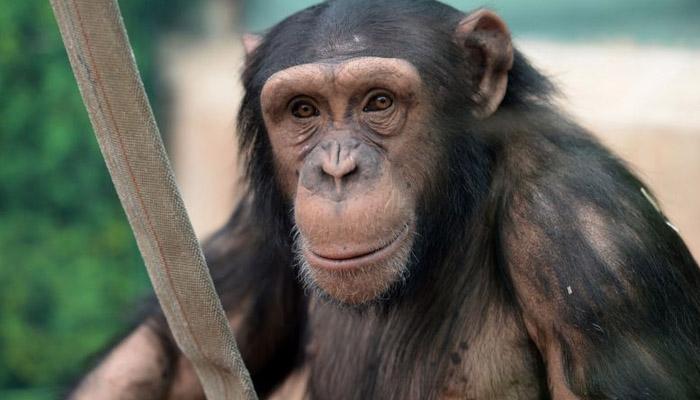 چمپینزی کا بستر انسانوں کے بستر سے زیادہ صاف ہوتا ہے