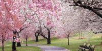 فن لینڈمیں ہر سو پھیلے چیری پھولوں سے فضا معطر