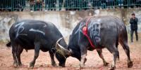 چین میں بیلوں کی لڑائی کا روایتی میلہ