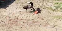 روسی چڑیا گھر کے ملازم کو شتر مرغ کے سامنے آنا بھاری پڑ گیا
