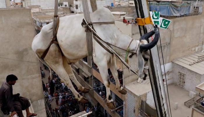 جانوروں کو کرین کی مدد سے چھت سے اُتارنا ' ایونٹ' بن گیا