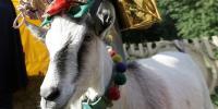 یوکرین میں بکریوں کی 'ملکہ حسن' کے انتخا ب کا مقابلہ