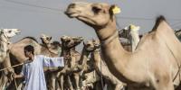 عید الاضحی ،افریقہ میں اونٹوں کی سب سے بڑی مارکیٹ