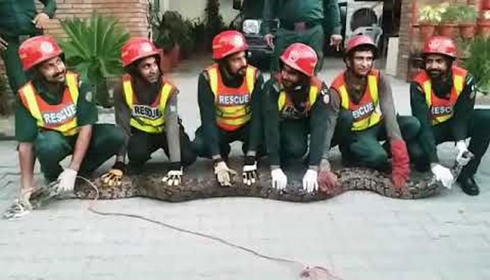 شیخوپور:15فٹ لمبا،50کلو وزنی اژدھا پکڑا گیا