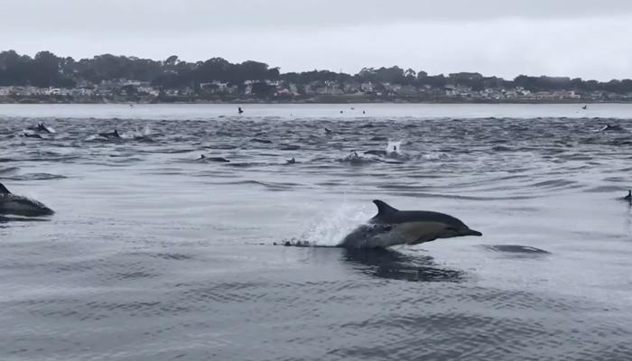 کیلی فورنیا میں لاتعداد ڈولفنز کی ریس
