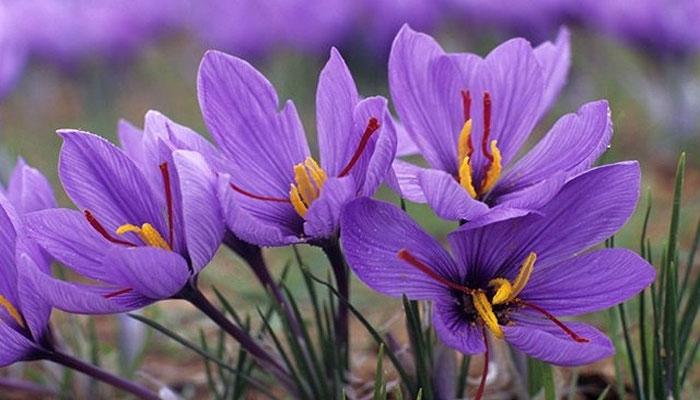 زعفران کےسیکڑوں جادوئی طبی فوائد