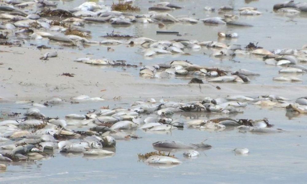 کراچی سی ویو ساحل پر مردہ مچھلیوں کی بھرمار