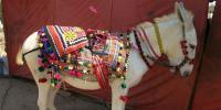بدین میں ہوا نو لکھی گدھوں کا سالانہ میلہ
