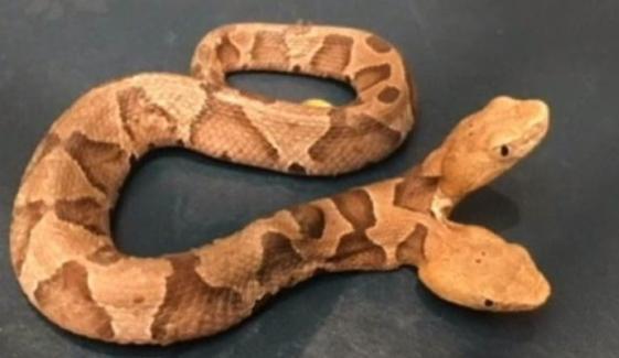 ورجینیا میں دو منہ والے زہریلے سانپ نے ہلچل مچا دی