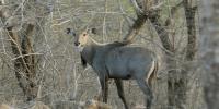نگر پارکر میں قحط، 3 نیل گائے ہلاک، اموات میں اضافے کا خدشہ