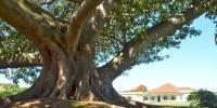 'میرا بھائی مل گیا، انجیر درخت کا شکریہ'