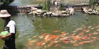 Dozens Of Koi Carp Follow Their Keeper During Feeding Time