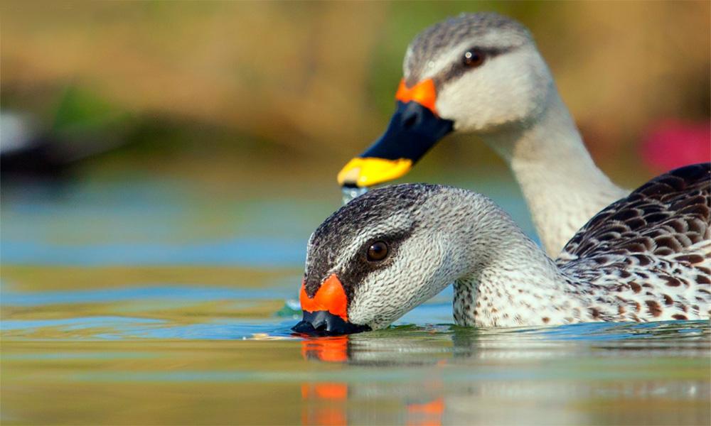 سرد ممالک سے نایاب آبی پرندوں کی آمد