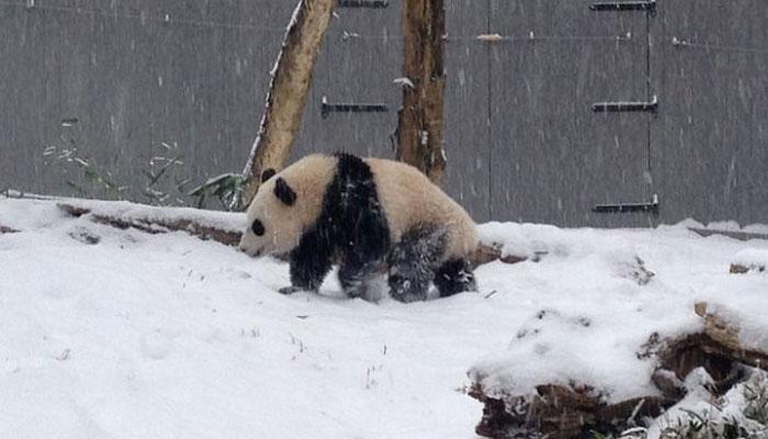 چین میں پانڈے برفباری سے لطف اندوز