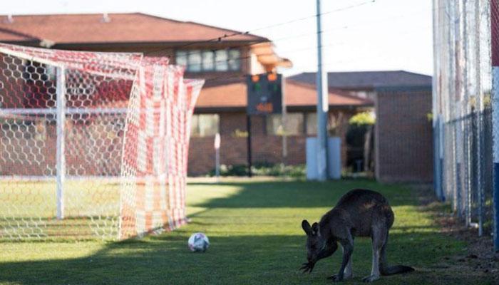 آسٹریلیا میں کینگرو فٹبال کھیلنے لگے