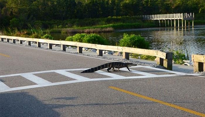 فلوریڈا سڑک پر مگرمچھ آنے سے ٹریفک جام