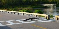 Moment Alligator Crossing Highway In Florida