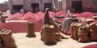 Chilli Farmers Of Badin