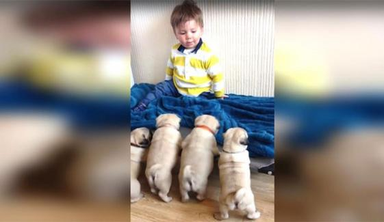 Adorable Puppies Play With Little Boy