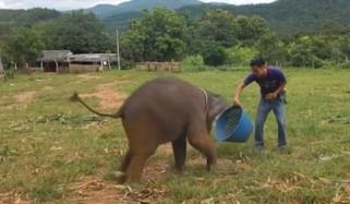 Adorable Baby Elephant Laugh As Plays With Keepers In Thailand