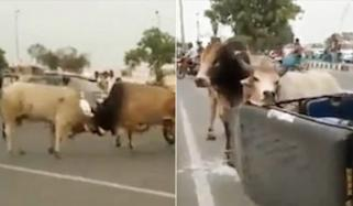 Angry Bulls Locked Horns For Fight On Busy Road India