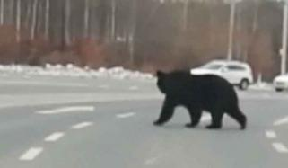 Wild Bear Seen On The Road In China