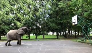 Elephant Perfect Basketball Shot With Trunk