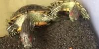 Cute Food Fight Between Two Turtles