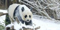 Giant Pandas Heartwarming Snow Day
