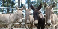 Number Of Donkeys In World What Number Of Pakistan